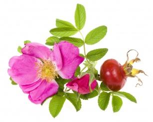 Dzika róża – do kuchni i kosmetyczki. Po co? Sprawdź!