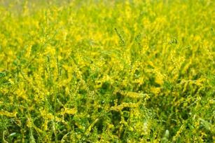 Nostrzyk  żółty, poznaj to tajemnicze zioło