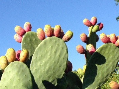 Olejek z pestek opuncji figowej